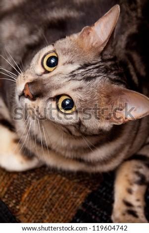 Young bengal cat - stock photo