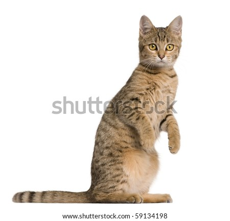 Young Bengal cat, 7 months old, standing in front of white background