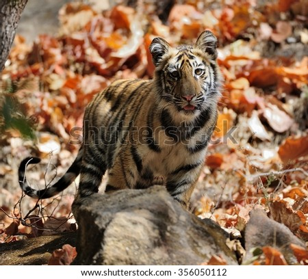 Young Bengal tiger in natural habitat. The Bengal (Indian) tiger Panthera tigris tigris. National park of India - stock photo