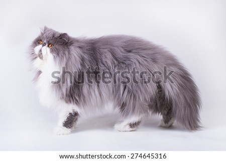 Young bicolor persian cat in front of a white background - stock photo