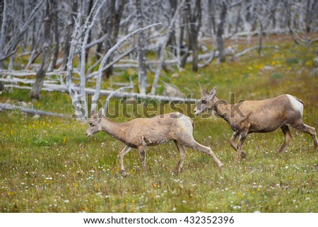 young big horn sheep