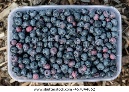 young bilberry in plastic bowl, fresh blueberries - stock photo