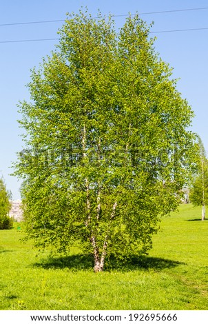 Young birch in the park