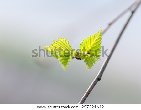 young birch leaves taken in backlit - stock photo