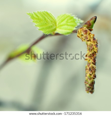 Young birch leaves taken with shallow depth of field, square image - stock photo