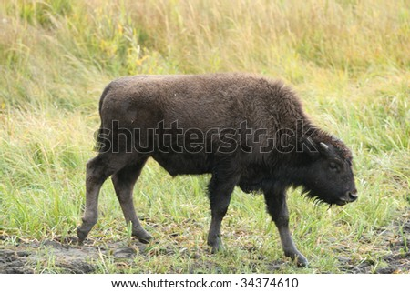 Young Bison at Yellowstone National Park