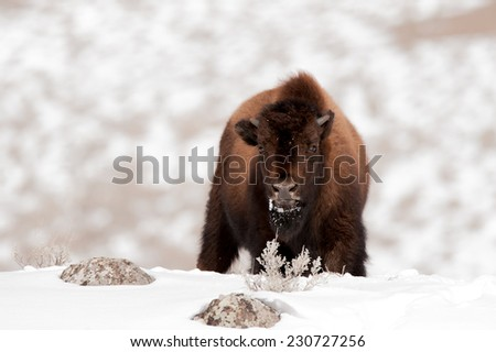 Young bison investigating photographer in Yellowstone National Park, facing forward with snow on face - stock photo