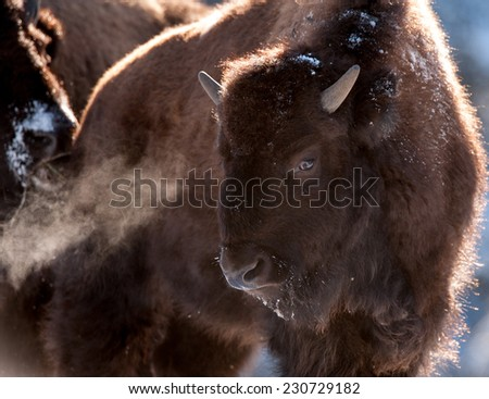 Young bison with breath showing due to frigid temperatures in Yellowstone National Park, winter - stock photo