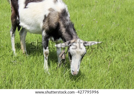 young black and white goat without horns standing on the green grass