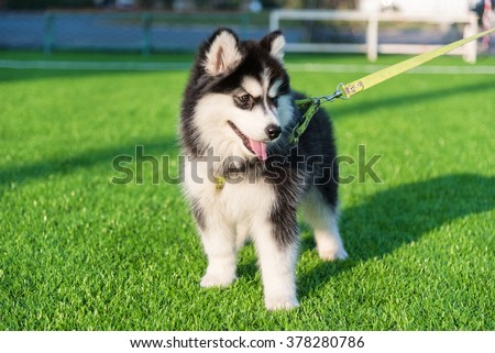young black and white siberian husky playing on green grass - stock photo