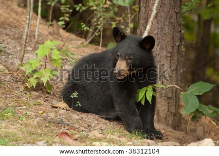 young black bear by a tree - stock photo