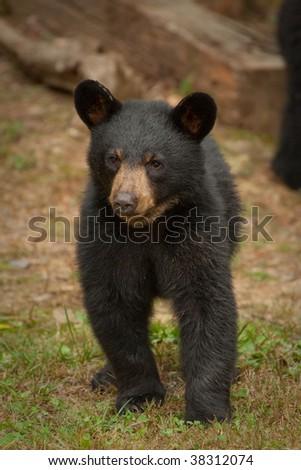 young black bear walking - stock photo