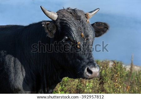 young black bull against a meadow and the sky