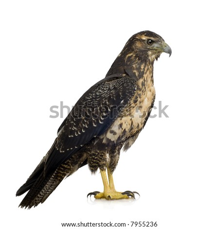 Young Black-chested Buzzard-eagle () - Geranoaetus melanoleucus in front of a white background - stock photo