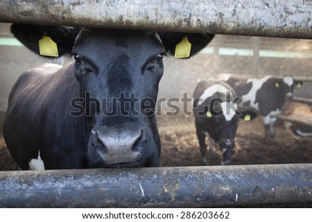 young black cow in stable behind bars with other cows in the background - stock photo