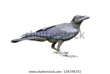 Young black crow isolated on white. - stock photo
