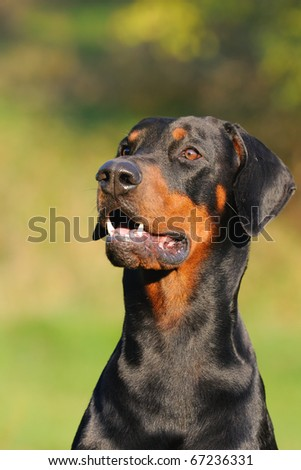 young black doberman sitting on the green grass portrait Dobermann - stock photo
