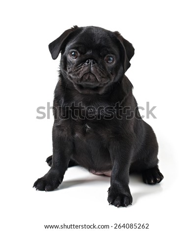 Young black dog pug posing on white background - stock photo