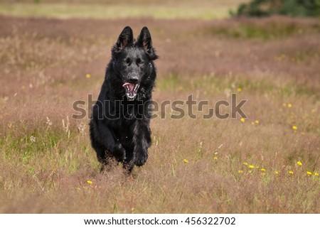 Young black german shepherd dog running in Moor - stock photo