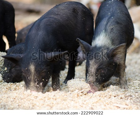 Young black pigs eating dry corn seeds on ground, countryside of Thailand. - stock photo