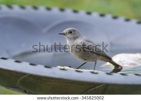 Young Black redstart in a garden. - stock photo