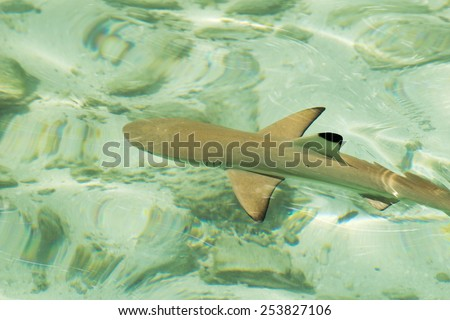 Young black-tip reef shark - stock photo