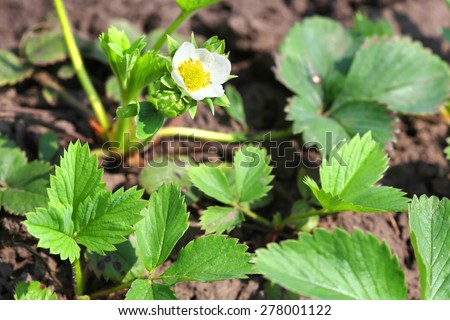 Young blossoming bush of strawberry - stock photo