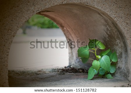 Young Bodhi Tree growing in tube - stock photo