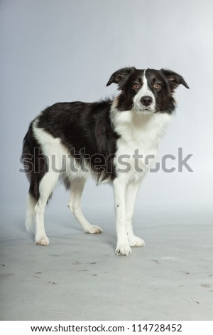 Young border collie dog. Bitch. Studio shot isolated on grey background. - stock photo