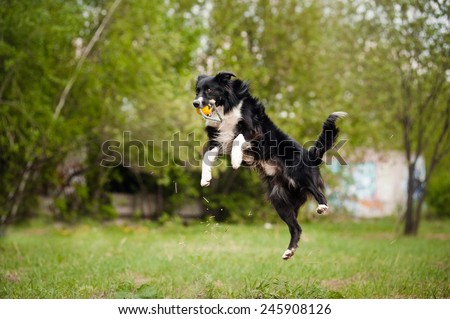 Young border collie dog jumping in the summer - stock photo