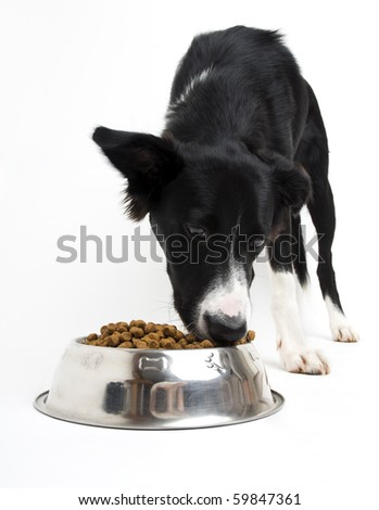Young border collie eating food on white background close up - stock photo