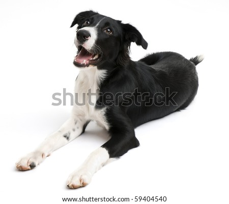 Young border collie lying on white background - stock photo