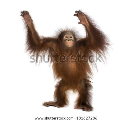 Young Bornean orangutan standing, reaching up, Pongo pygmaeus, 18 months old, isolated on white - stock photo