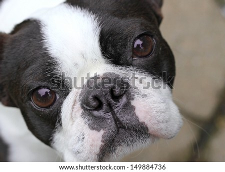 Young Boston Terrier - stock photo
