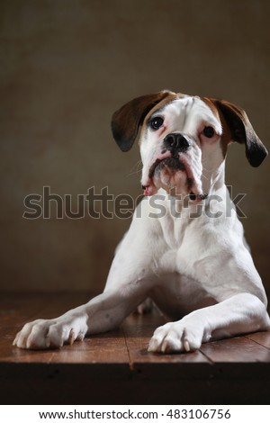 young boxer dog