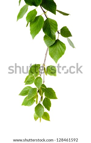 young branch of birch with buds and leaves isolated - stock photo