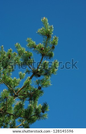 Young branches of  pin tree in spring against blue sky background. - stock photo