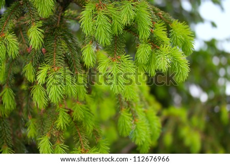 Young branches of spruce in spring - stock photo