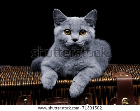 Young british cat lying on suitcase and looking at camera - stock photo