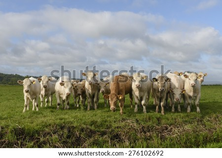 Young British Charolais bullocks in spring sunshine on the Somerset Levels - stock photo
