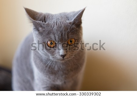 Young british shorthair - stock photo