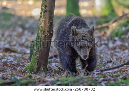 young brown bear - stock photo