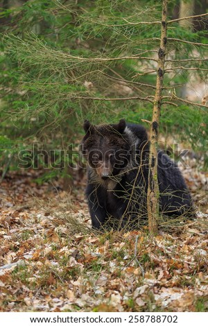 young brown bear cover in the tree - stock photo