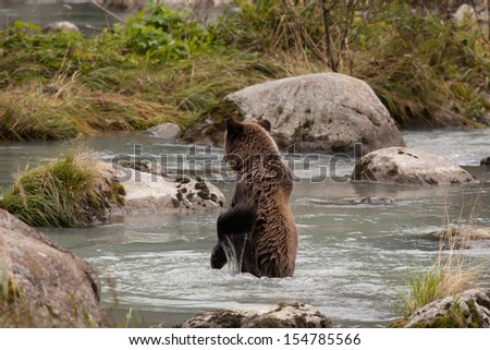 Young brown bear (grizzly) in an Alaskan river near Haines looking for salmon with large rocks.