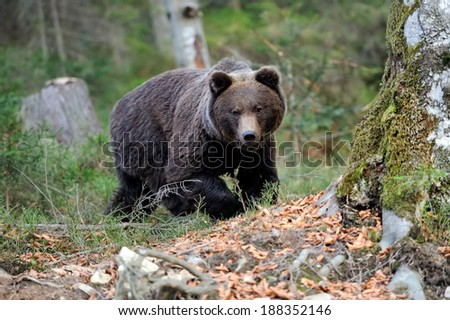 Young brown bear in the wild forest