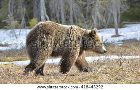 Young brown bear on a bog in the forest  in spring. The brown bear (Ursus arctos) - stock photo