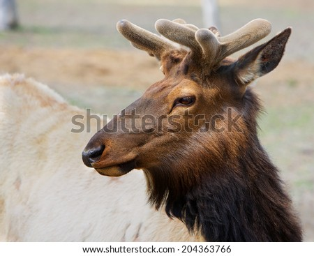 Young Brown Caribou head with small antlers looking left - stock photo