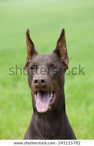young brown doberman`s portrait on green background - stock photo