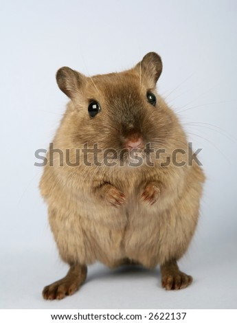 young brown female rodent on dark grey background - stock photo