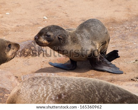 Young brown Fur Seal (Arctocephalus pusillus) - stock photo